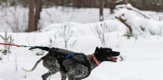 Wyścigi psów w XXI wieku